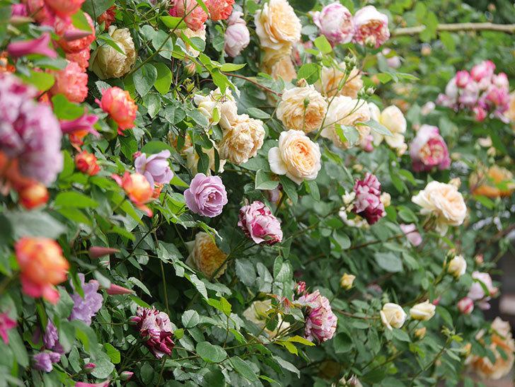 レイニーブルー(Rainy Blue)の花がたくさん咲いた。ツルバラ。2021年-033.jpg