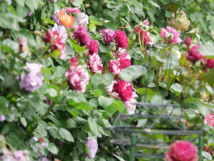 レイニーブルー(Rainy Blue)の花がたくさん咲いた。ツルバラ。2021年-034.jpg
