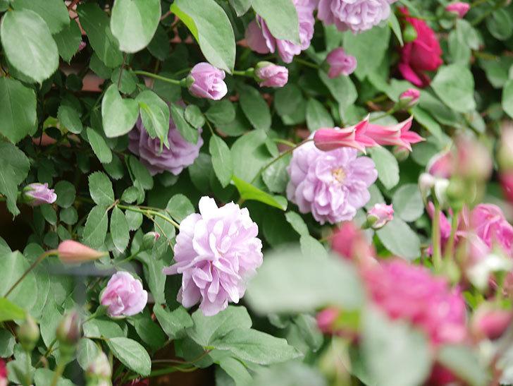 レイニーブルー(Rainy Blue)の花がたくさん咲いた。ツルバラ。2021年-035.jpg