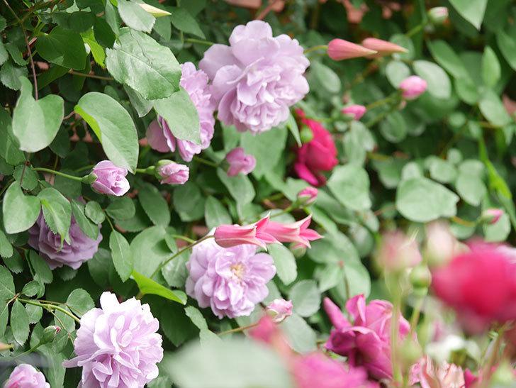 レイニーブルー(Rainy Blue)の花がたくさん咲いた。ツルバラ。2021年-036.jpg