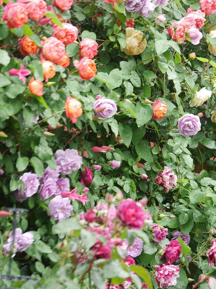 レイニーブルー(Rainy Blue)の花がたくさん咲いた。ツルバラ。2021年-037.jpg