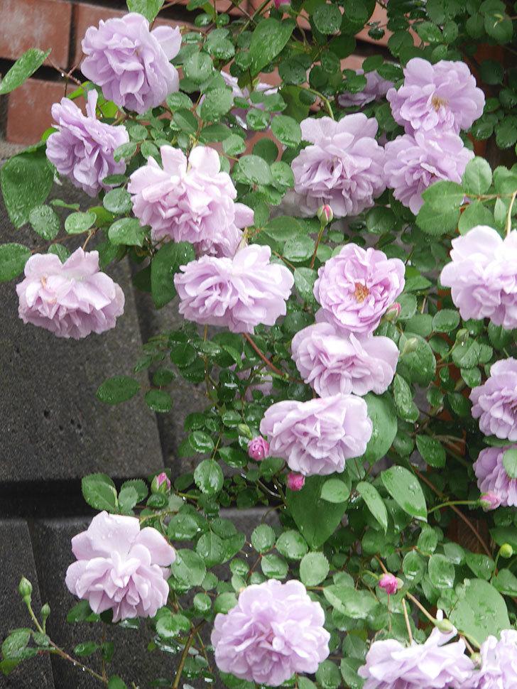 レイニーブルー(Rainy Blue)の花がたくさん咲いた。ツルバラ。2021年-038.jpg
