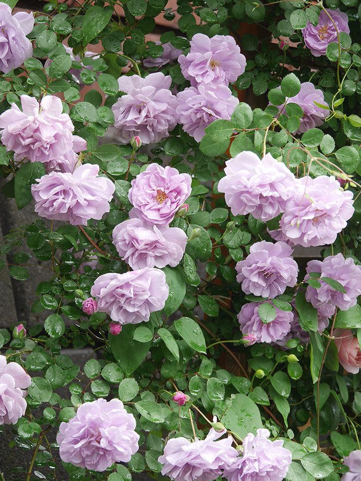 レイニーブルー(Rainy Blue)の花がたくさん咲いた。ツルバラ。2021年-039.jpg