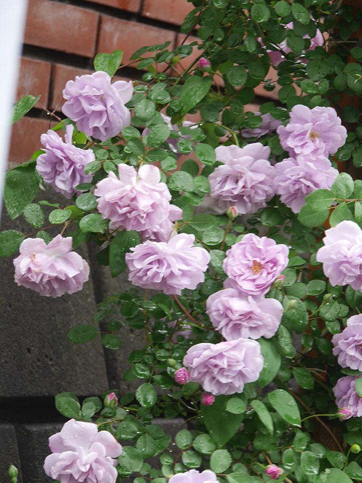 レイニーブルー(Rainy Blue)の花がたくさん咲いた。ツルバラ。2021年-040.jpg