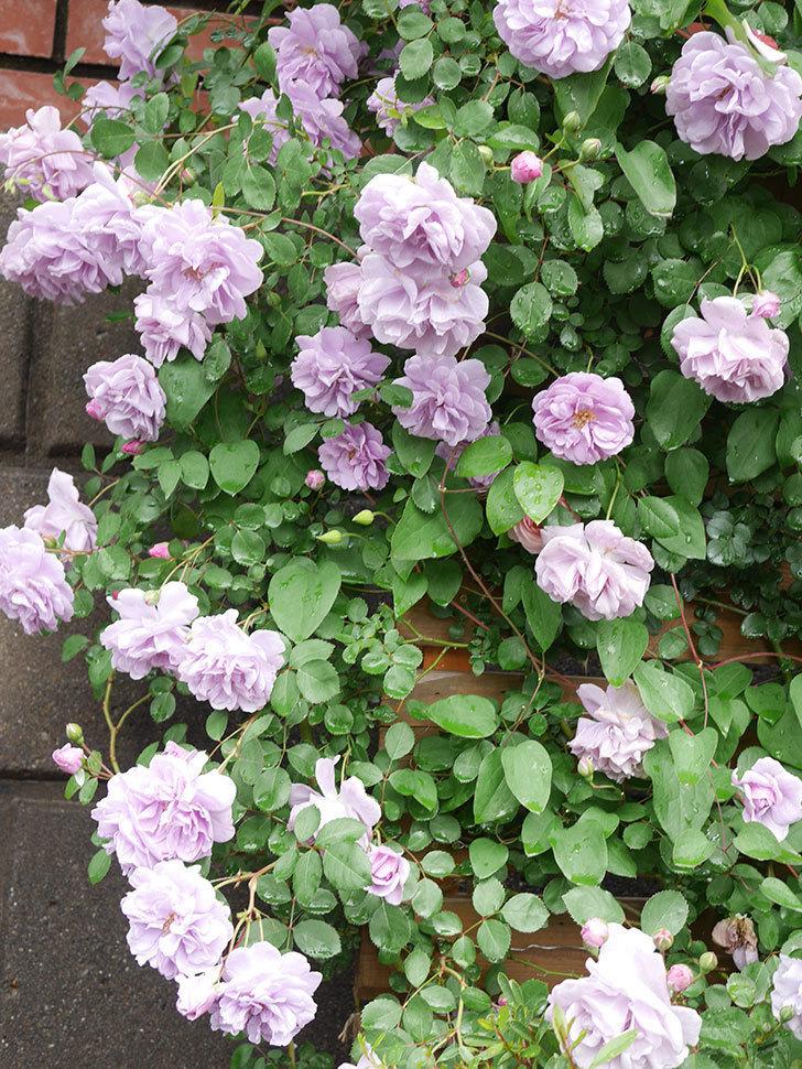 レイニーブルー(Rainy Blue)の花がたくさん咲いた。ツルバラ。2021年-042.jpg