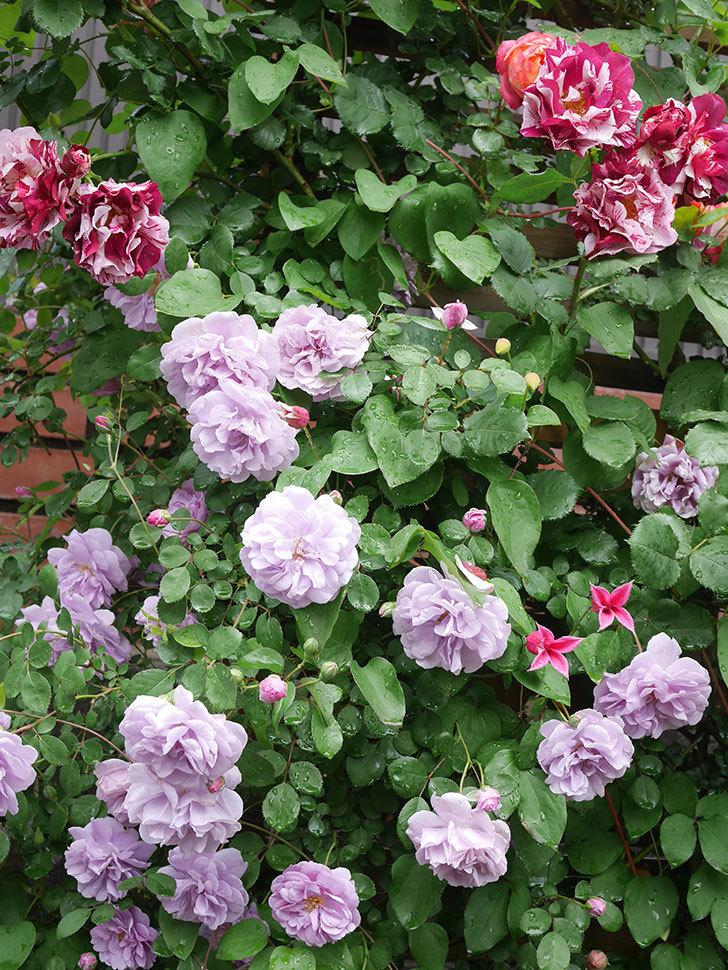 レイニーブルー(Rainy Blue)の花がたくさん咲いた。ツルバラ。2021年-043.jpg