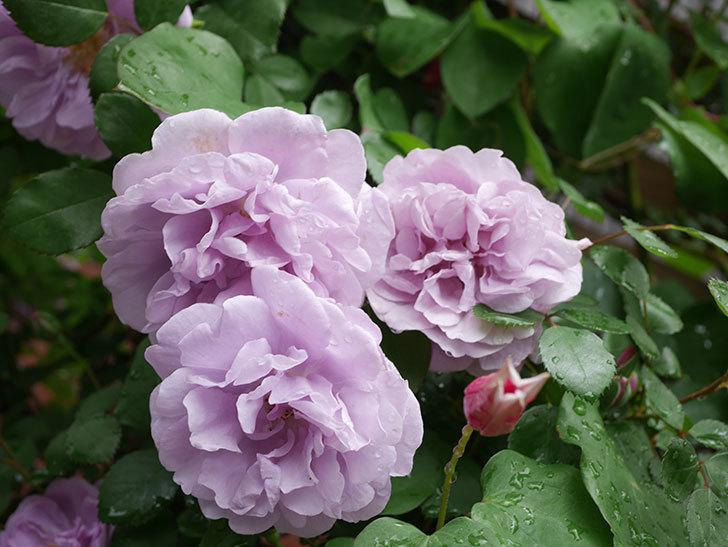 レイニーブルー(Rainy Blue)の花がたくさん咲いた。ツルバラ。2021年-044.jpg