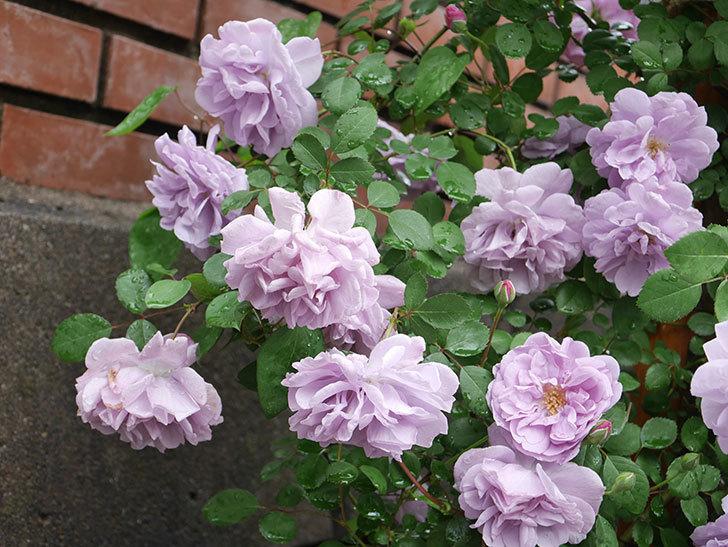 レイニーブルー(Rainy Blue)の花がたくさん咲いた。ツルバラ。2021年-045.jpg