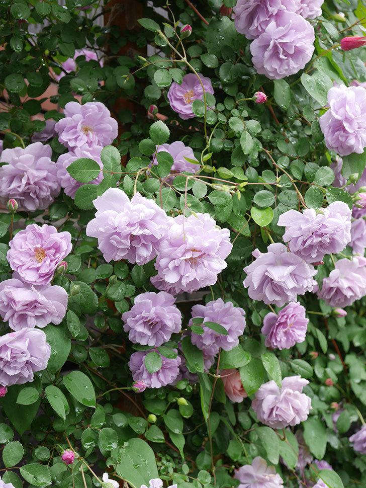 レイニーブルー(Rainy Blue)の花がたくさん咲いた。ツルバラ。2021年-046.jpg