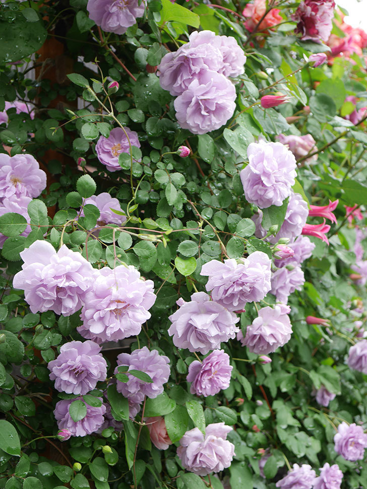 レイニーブルー(Rainy Blue)の花がたくさん咲いた。ツルバラ。2021年-047.jpg