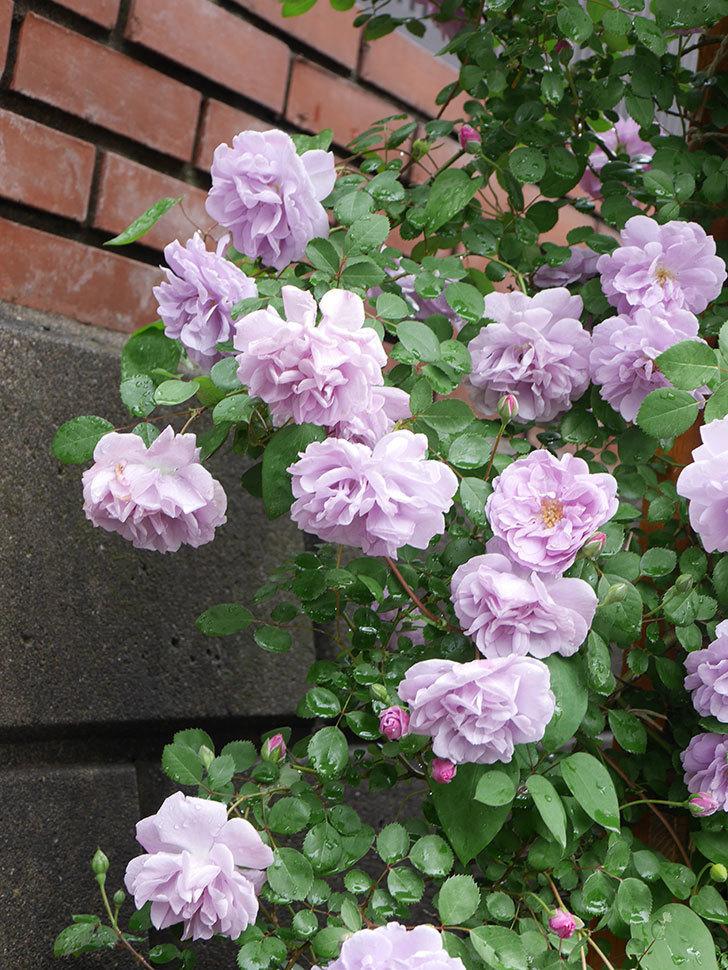 レイニーブルー(Rainy Blue)の花がたくさん咲いた。ツルバラ。2021年-048.jpg
