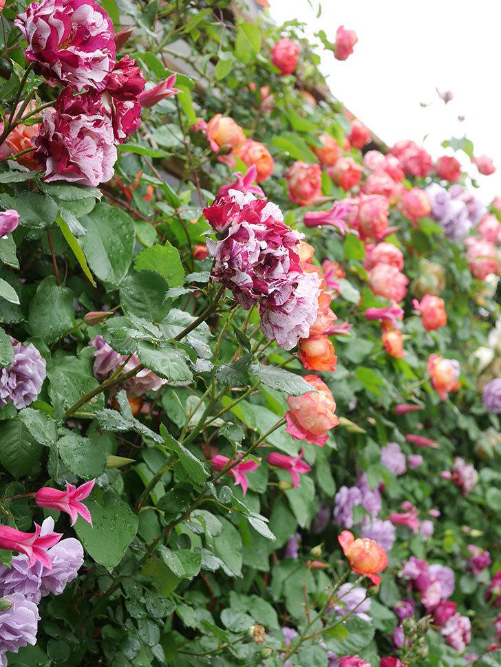 レイニーブルー(Rainy Blue)の花がたくさん咲いた。ツルバラ。2021年-049.jpg