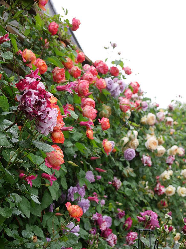 レイニーブルー(Rainy Blue)の花がたくさん咲いた。ツルバラ。2021年-050.jpg