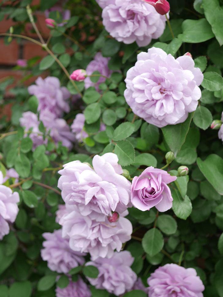レイニーブルー(Rainy Blue)の花がたくさん咲いた。ツルバラ。2021年-051.jpg