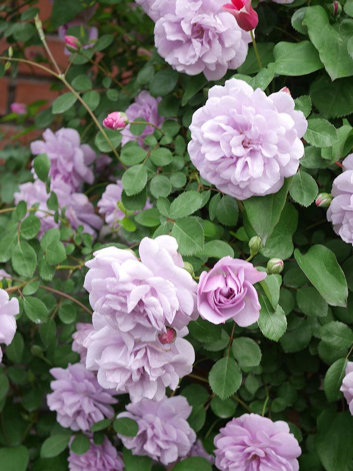レイニーブルー(Rainy Blue)の花がたくさん咲いた。ツルバラ。2021年-052.jpg