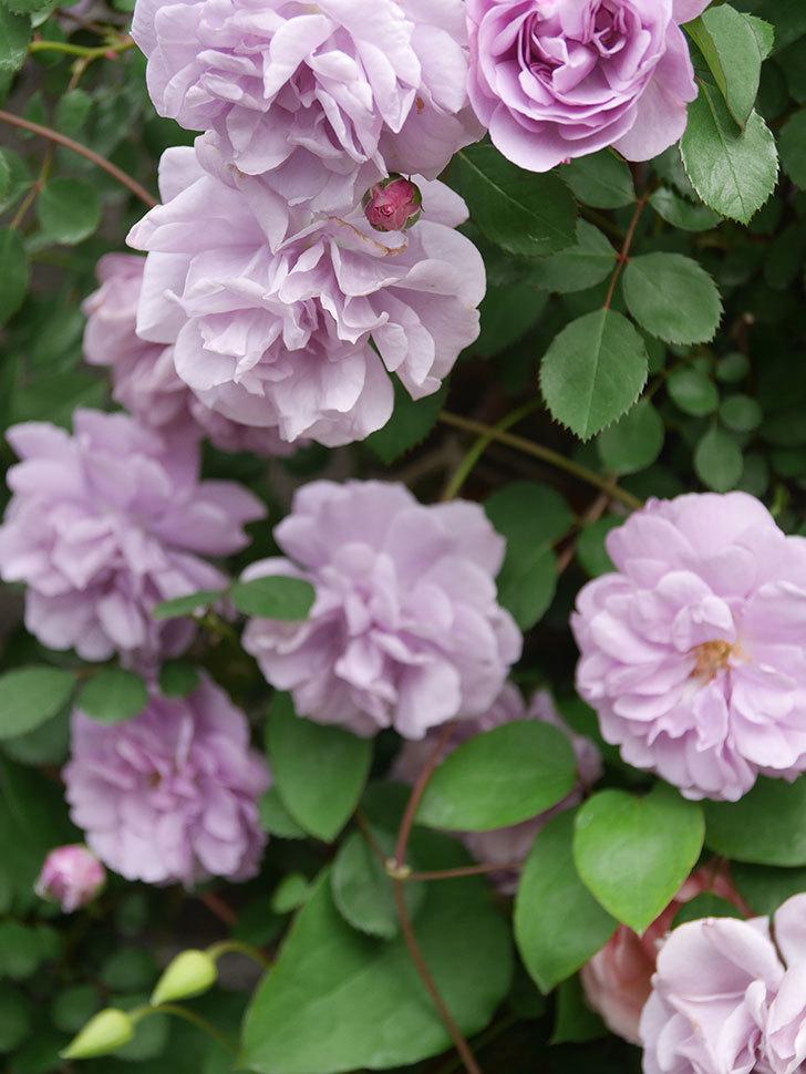 レイニーブルー(Rainy Blue)の花がたくさん咲いた。ツルバラ。2021年-055.jpg