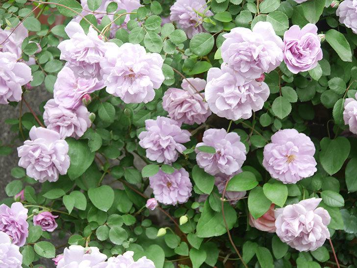 レイニーブルー(Rainy Blue)の花がたくさん咲いた。ツルバラ。2021年-056.jpg