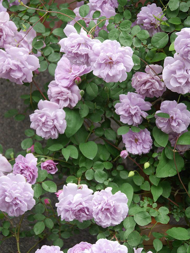 レイニーブルー(Rainy Blue)の花がたくさん咲いた。ツルバラ。2021年-057.jpg
