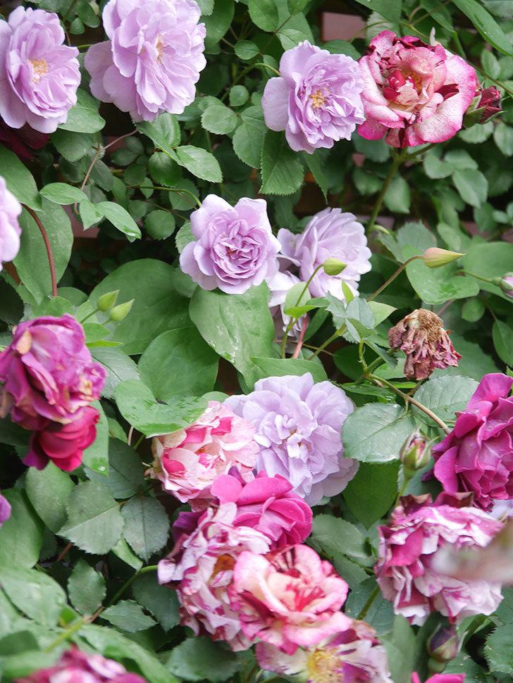 レイニーブルー(Rainy Blue)の花がたくさん咲いた。ツルバラ。2021年-059.jpg