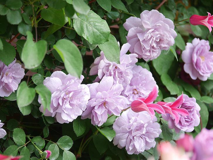 レイニーブルー(Rainy Blue)の花がたくさん咲いた。ツルバラ。2021年-060.jpg