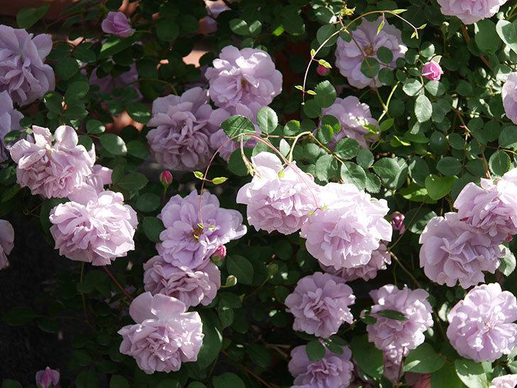 レイニーブルー(Rainy Blue)の花がたくさん咲いた。ツルバラ。2021年-065.jpg