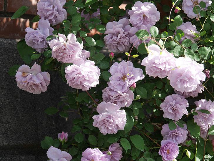 レイニーブルー(Rainy Blue)の花がたくさん咲いた。ツルバラ。2021年-066.jpg