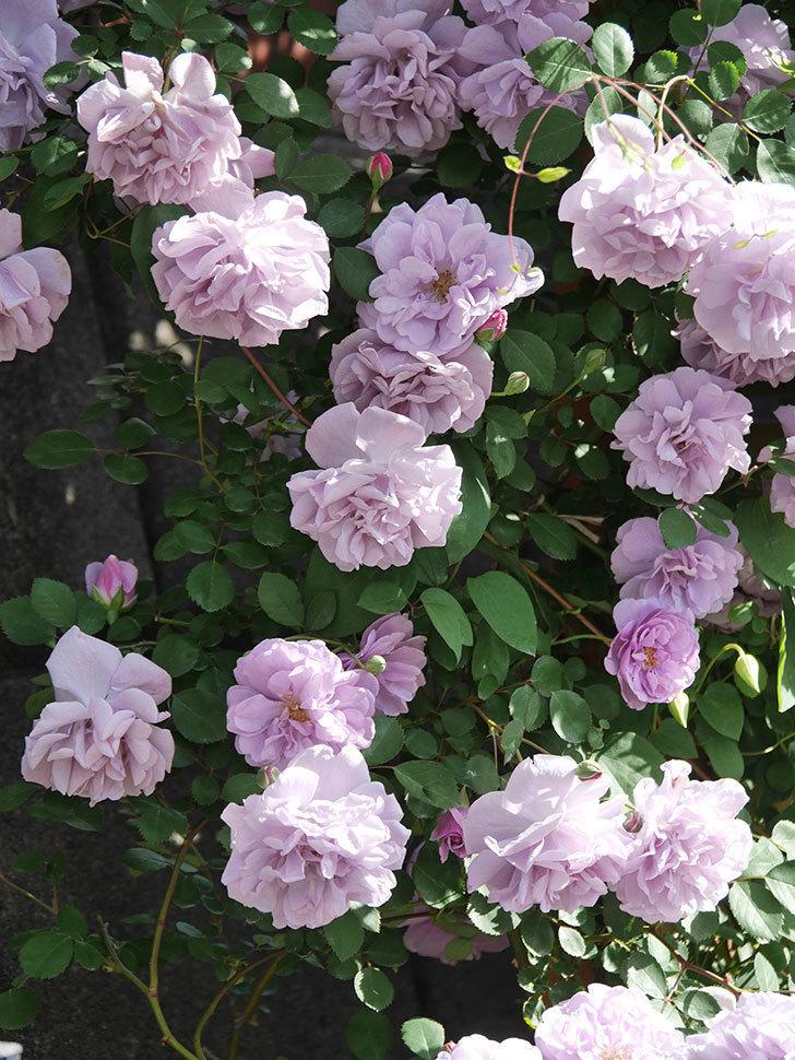 レイニーブルー(Rainy Blue)の花がたくさん咲いた。ツルバラ。2021年-067.jpg