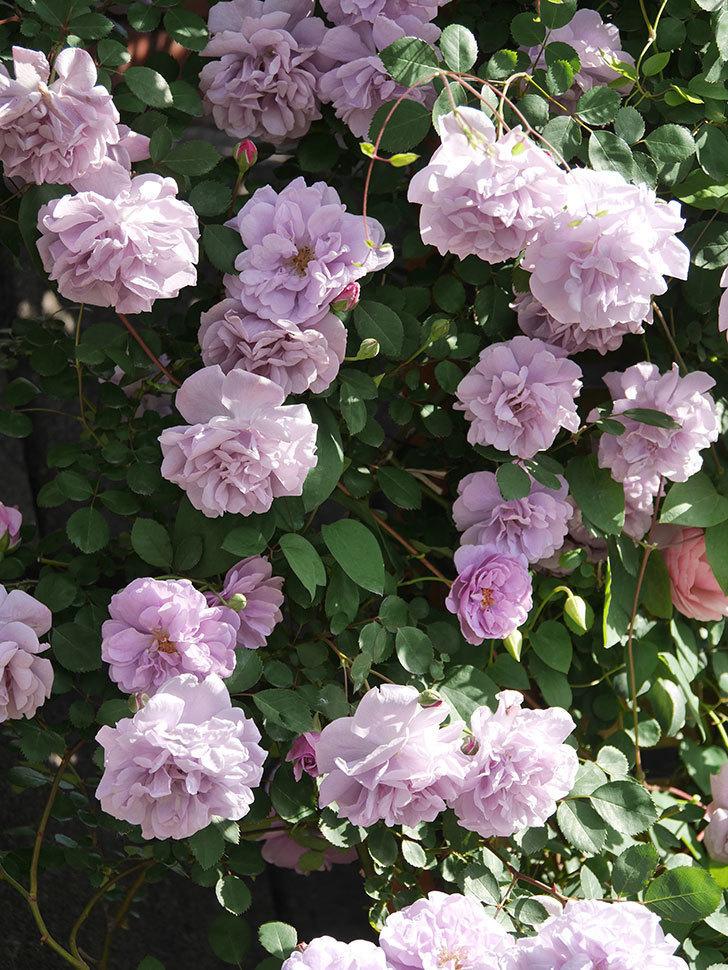 レイニーブルー(Rainy Blue)の花がたくさん咲いた。ツルバラ。2021年-069.jpg