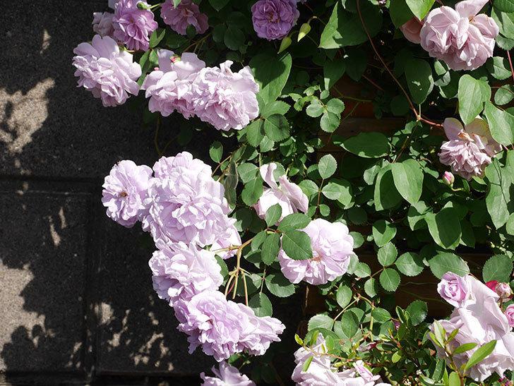レイニーブルー(Rainy Blue)の花がたくさん咲いた。ツルバラ。2021年-072.jpg