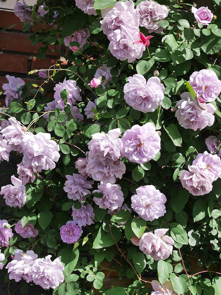 レイニーブルー(Rainy Blue)の花がたくさん咲いた。ツルバラ。2021年-073.jpg