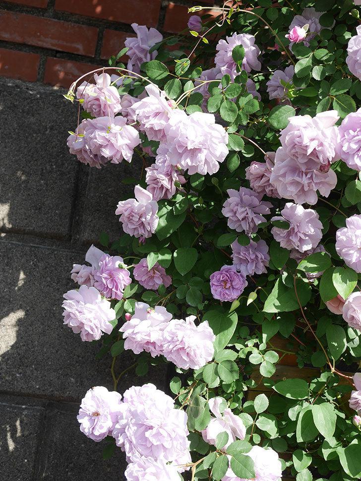 レイニーブルー(Rainy Blue)の花がたくさん咲いた。ツルバラ。2021年-074.jpg