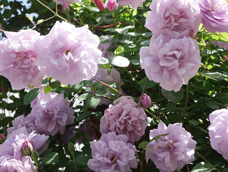 レイニーブルー(Rainy Blue)の花がたくさん咲いた。ツルバラ。2021年-076.jpg