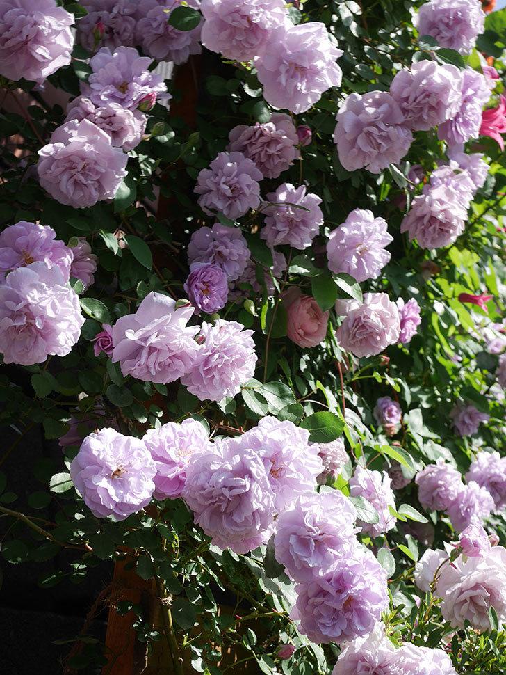 レイニーブルー(Rainy Blue)の花がたくさん咲いた。ツルバラ。2021年-081.jpg