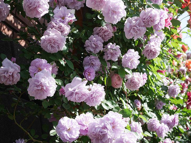 レイニーブルー(Rainy Blue)の花がたくさん咲いた。ツルバラ。2021年-082.jpg