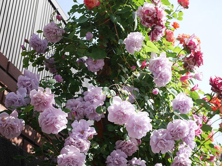 レイニーブルー(Rainy Blue)の花がたくさん咲いた。ツルバラ。2021年-084.jpg