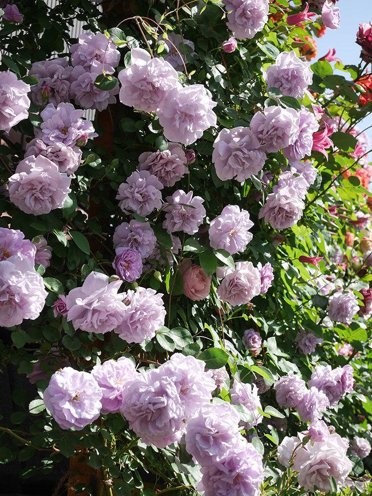 レイニーブルー(Rainy Blue)の花がたくさん咲いた。ツルバラ。2021年-085.jpg