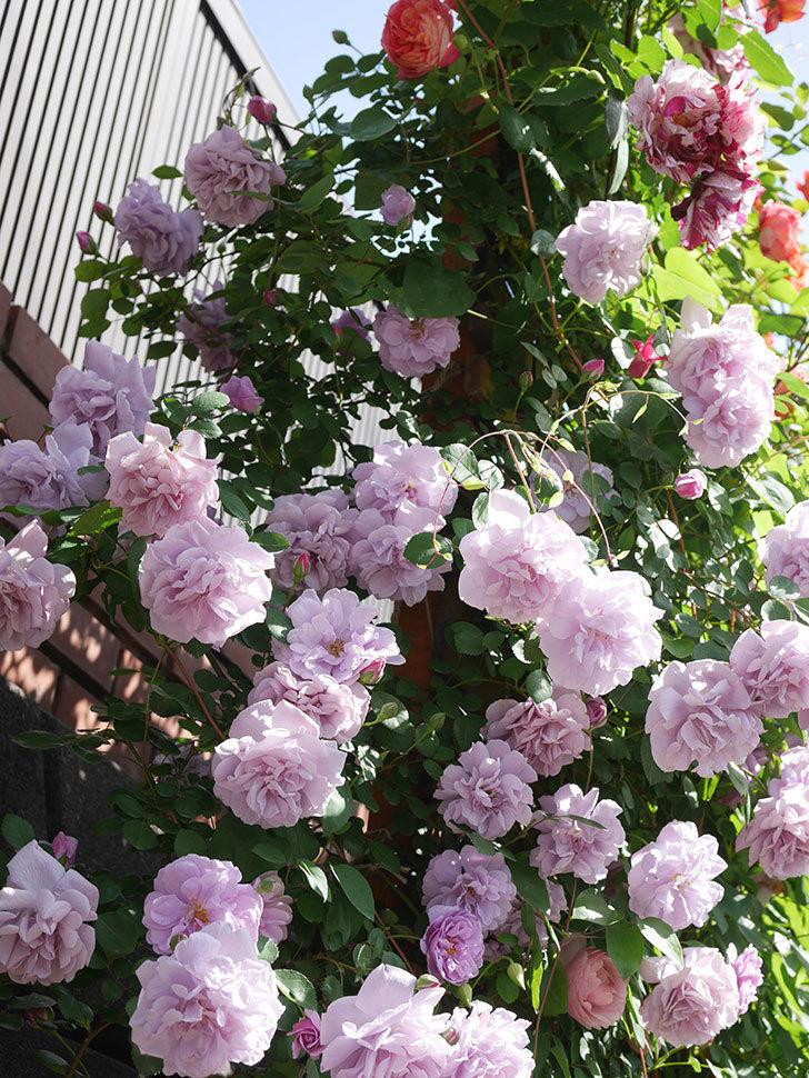 レイニーブルー(Rainy Blue)の花がたくさん咲いた。ツルバラ。2021年-086.jpg