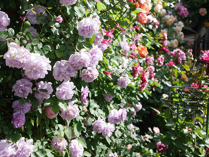 レイニーブルー(Rainy Blue)の花がたくさん咲いた。ツルバラ。2021年-087.jpg