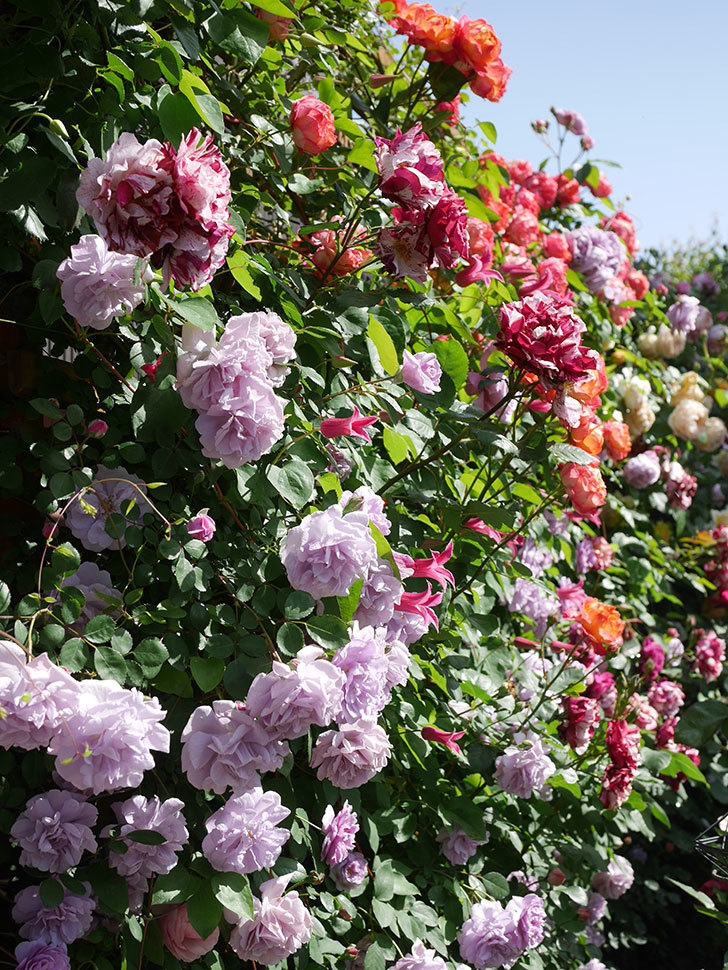 レイニーブルー(Rainy Blue)の花がたくさん咲いた。ツルバラ。2021年-089.jpg