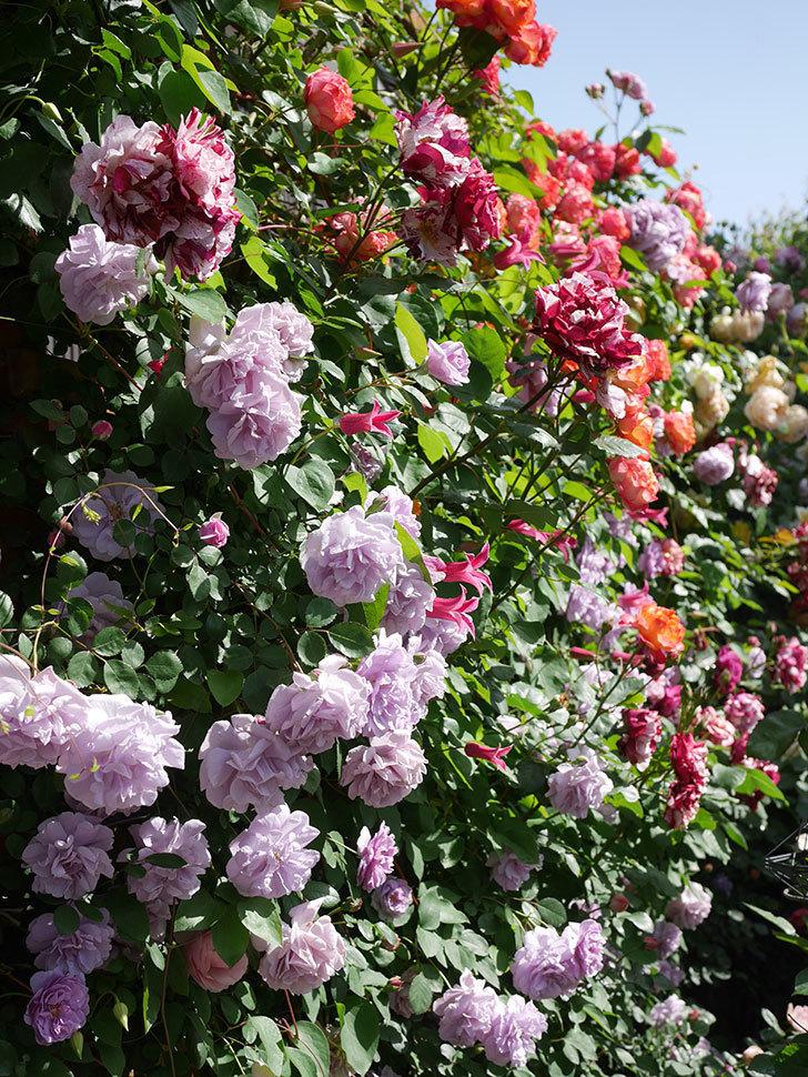 レイニーブルー(Rainy Blue)の花がたくさん咲いた。ツルバラ。2021年-090.jpg