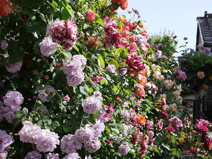 レイニーブルー(Rainy Blue)の花がたくさん咲いた。ツルバラ。2021年-091.jpg