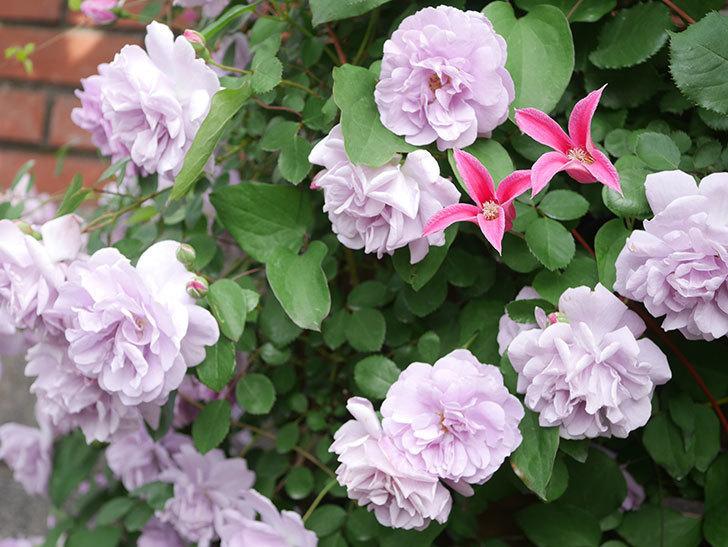 レイニーブルー(Rainy Blue)の花がたくさん咲いた。ツルバラ。2021年-092.jpg