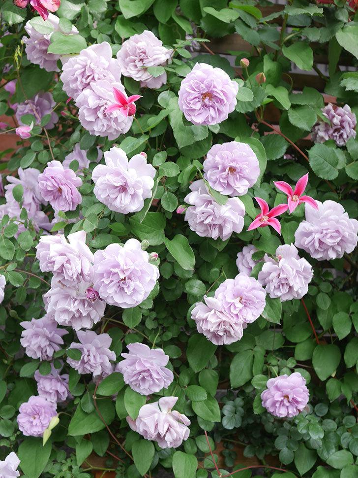 レイニーブルー(Rainy Blue)の花がたくさん咲いた。ツルバラ。2021年-094.jpg