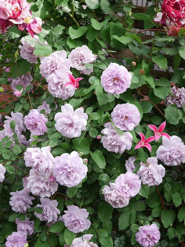レイニーブルー(Rainy Blue)の花がたくさん咲いた。ツルバラ。2021年-095.jpg