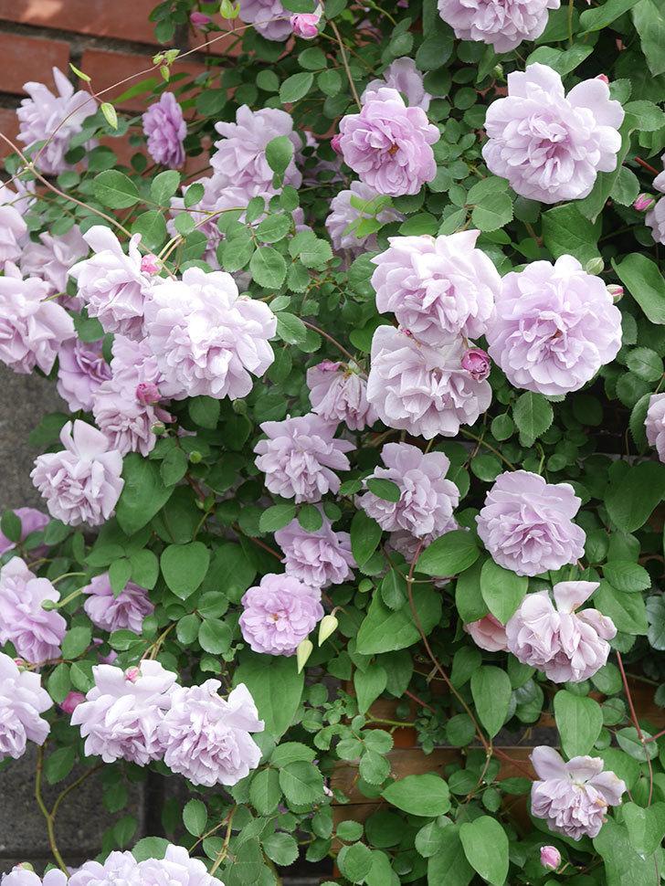 レイニーブルー(Rainy Blue)の花がたくさん咲いた。ツルバラ。2021年-096.jpg