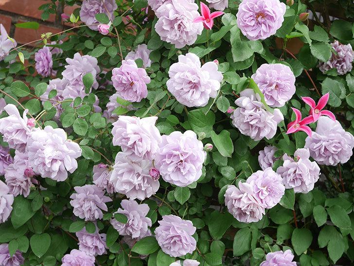 レイニーブルー(Rainy Blue)の花がたくさん咲いた。ツルバラ。2021年-097.jpg