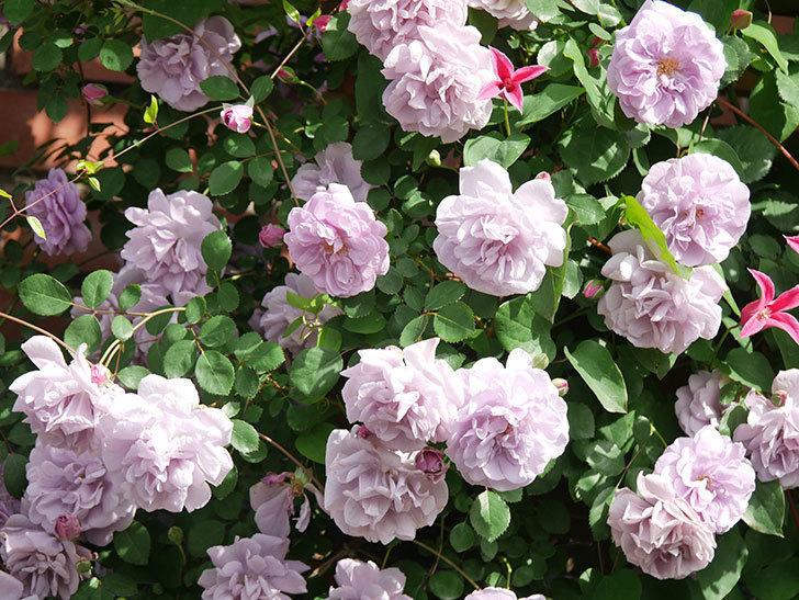 レイニーブルー(Rainy Blue)の花がたくさん咲いた。ツルバラ。2021年-098.jpg