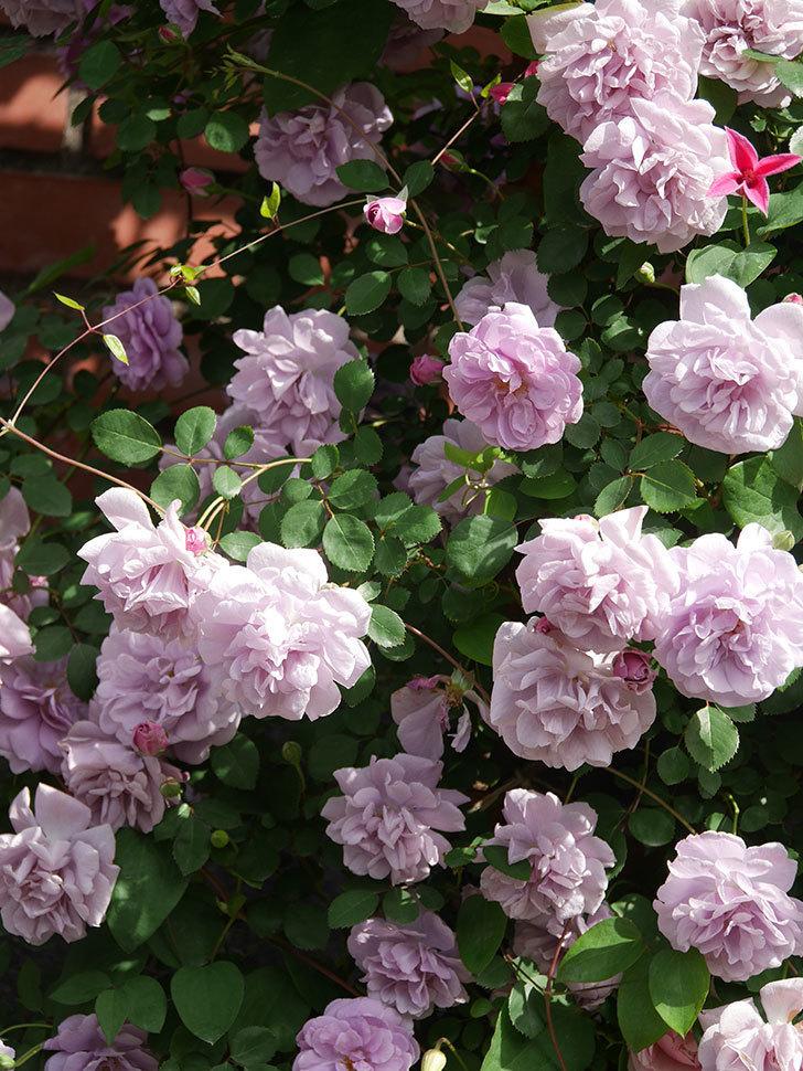 レイニーブルー(Rainy Blue)の花がたくさん咲いた。ツルバラ。2021年-099.jpg