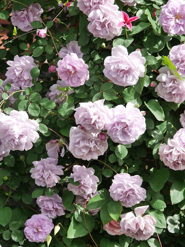 レイニーブルー(Rainy Blue)の花がたくさん咲いた。ツルバラ。2021年-100.jpg