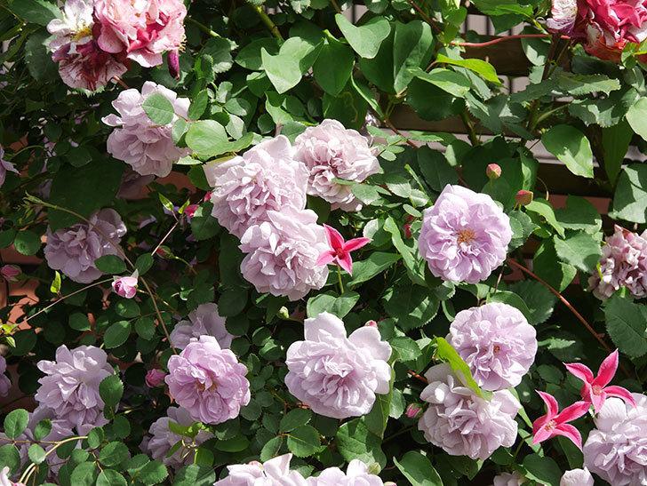 レイニーブルー(Rainy Blue)の花がたくさん咲いた。ツルバラ。2021年-101.jpg
